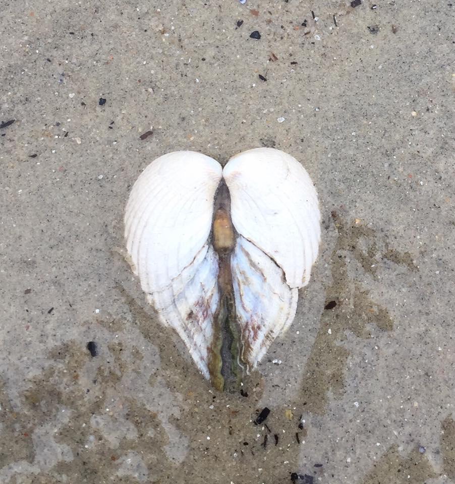 Billede af nogle musling skaller der former et hjerte